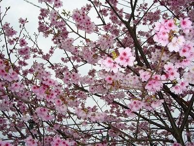 おお寒桜?
