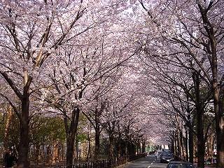 2006桜2